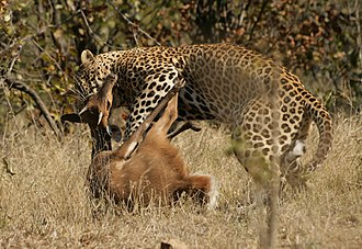 Coevolution - Predator and prey: a leopard killing a bushbuck