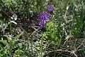 Leopoldia comosa near Almendres menhir - Apr 2011.jpg