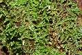 Lepidozia reptans (f, 144822-474723) 1941.JPG