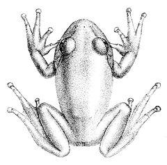 240px-leptopelis_viridis
