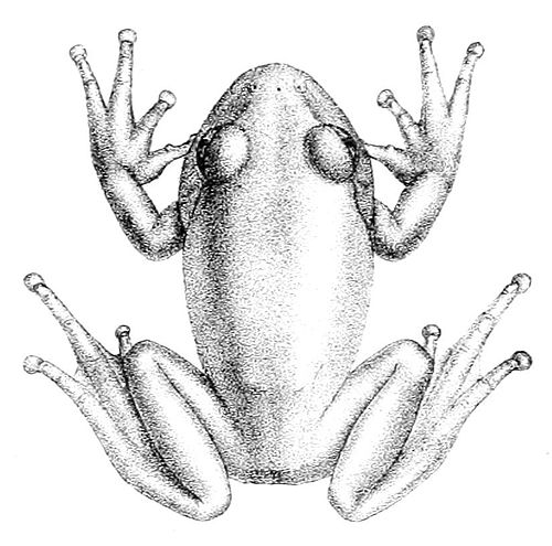 500px-leptopelis_viridis