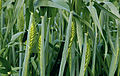 Les Plantes Cultivades. Cereals. Imatge 1810.jpg