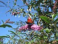 Lesni odseci u Zemunu (SP015) - Leptir Dnevni paunovac (Vanessa io).jpg