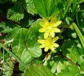 Lesser Celandine - Flickr - gailhampshire.jpg