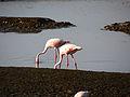 Lesser Flamingos.JPG