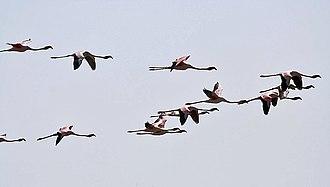 Central Asian Flyway - Lesser flamingos In flight at Chilika Lake