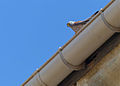 Lesser Kestrel (Falco naumanni) male on a roof (14065248445).jpg