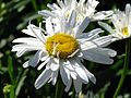 Leucanthemum 'Crazy Daisy' 02.jpg