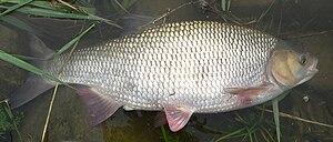 Ide (fish) - Image: Leuciscus Idus Winde Ide 56cm 21 4 2009 16 46 58