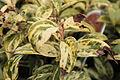 Leucothoe axillaris 11107.JPG