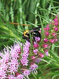 Liatris pycnostachya with bee.jpg