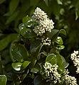 Ligustrum jap Rotundifolium C.jpg