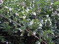 Ligustrum obtusifolium 5453186.jpg