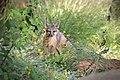 Lil Fox (48032074058).jpg