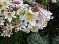 Lilium regale1UME.jpg