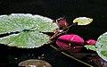 Lilypads, Lake Phalen, Maplewood 7 6 07 (25310816807).jpg