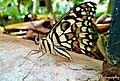 Lime butterfly pondicherry.jpg