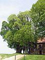 Linden auf dem Veitsberg (Ansberg) bei Ebensfeld.jpg