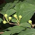 Lindera triloba (fruits s13).jpg