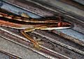 Lined Flat-tailed Gecko (Uroplatus lineatus) (7632200520).jpg