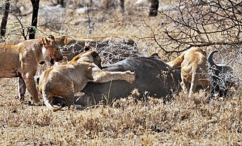 English: Four Lionesses take down a bull cape ...
