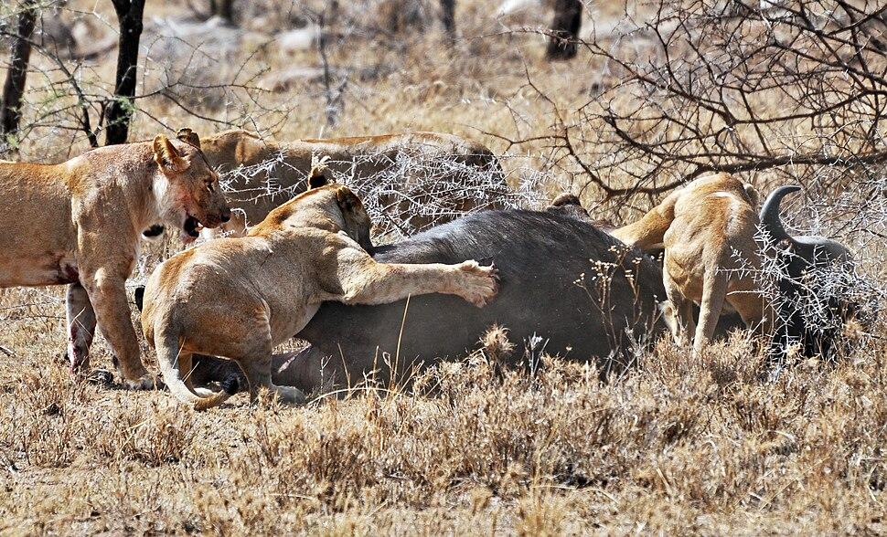 Lions taking down cape buffalo