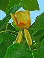 Liriodendron tulipifera 005.JPG