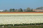 Lisse, tulpenveld in verschillende kleuren positie1 foto10 2017-04-09 15.21.jpg