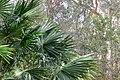 Livistona australis 14858545616 f8829d11b3 o.jpg