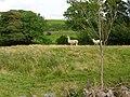 Llamas Grazing - geograph.org.uk - 522046.jpg