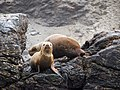 Lobo Marino Reserva Nacional Pinguino de Humboldt 06.jpg