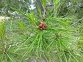Lone Pine leaves 1.jpg