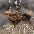 Long-legged Buzzard (Buteo rufinus) (34005112332) (cropped).jpg
