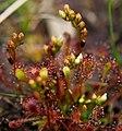 Long leaf sundew fra Nationalpark Thy.jpg