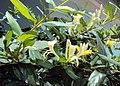 Lonicera japonica 01a.JPG