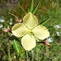 Ludwigia octovalvis (Onagraceae) - Flower.jpg