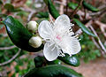 Luma apiculata by.jpg