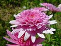 Luscious pink blooms.jpg
