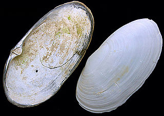 <i>Lutraria</i> genus of molluscs