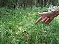 Luzula parviflora (22926976056).jpg
