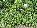 Luzula sylvatica - Botanical Garden, University of Frankfurt - DSC02595.JPG