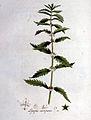 Lycopus europaeus — Flora Batava — Volume v1.jpg