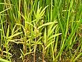 Lysimachia thyrsiflora plant (01).jpg