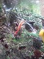 Lysmata amboinensis - cinéaqua.JPG