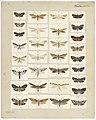 MA I437894 TePapa Plate-XXXIII-The-butterflies full.jpg