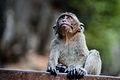 Macaca fascicularis - crab-eating macaque - Krabi - Thailand (12236853194).jpg