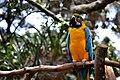 Macaw - panoramio.jpg
