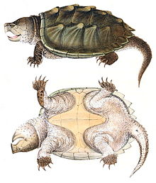 Alligator snapping turtle wikipedia appearanceedit publicscrutiny Gallery