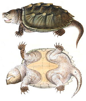 Alligator snapping turtle - Illustration from Holbrook's North American Herpetology, 1842