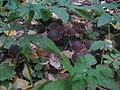 Macrocystidia cucumis 30890054.jpg